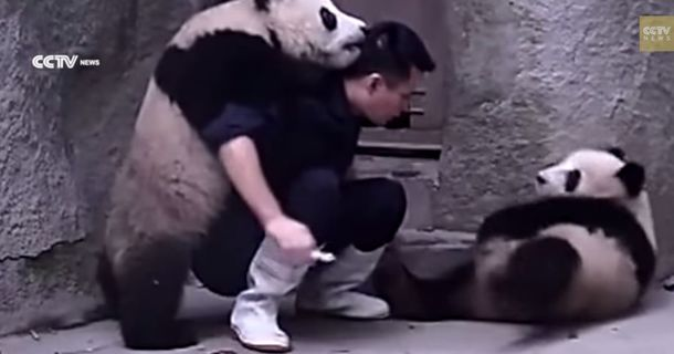 Panda Cubs Refuse To Take Their Medicine In The Most Delightful Way
